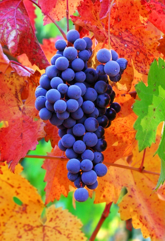 Tempranillo After The Frost