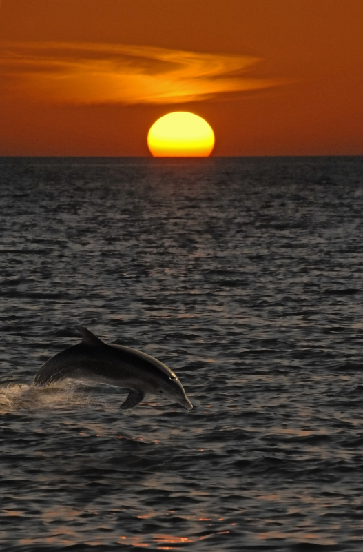 Sanibel Island Dolphin At Sunset