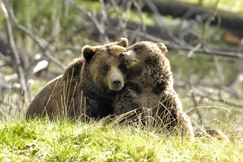 Boar And Sow Grizzly During Mating Season