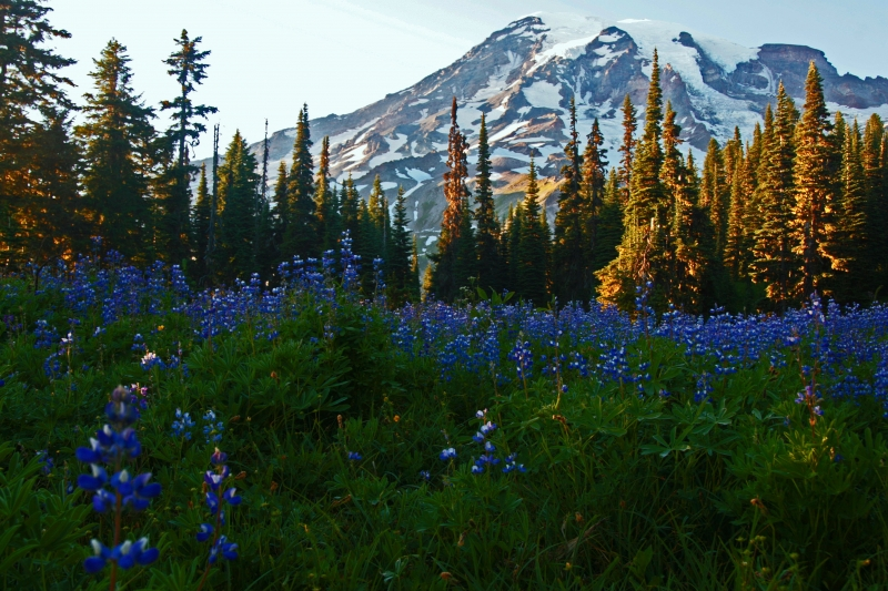Mt Rainer Wild Flowers
