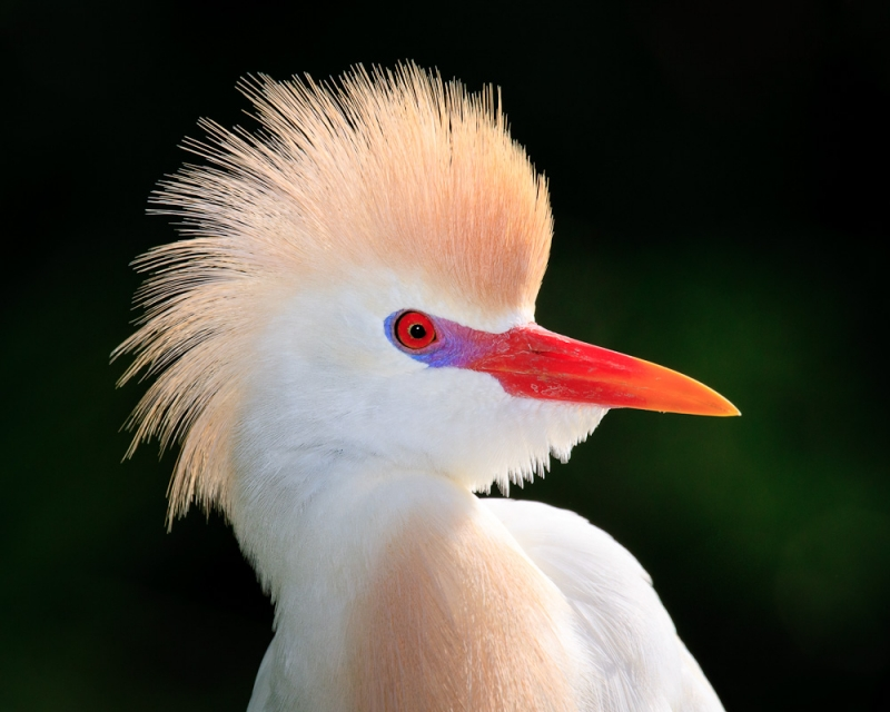 Cattle Egret In Mating Colors