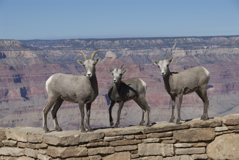 Desert Bighorn Sheep At The Grand Canyon