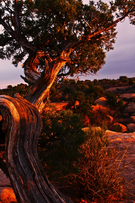 Canyonlands Tree At Sunset
