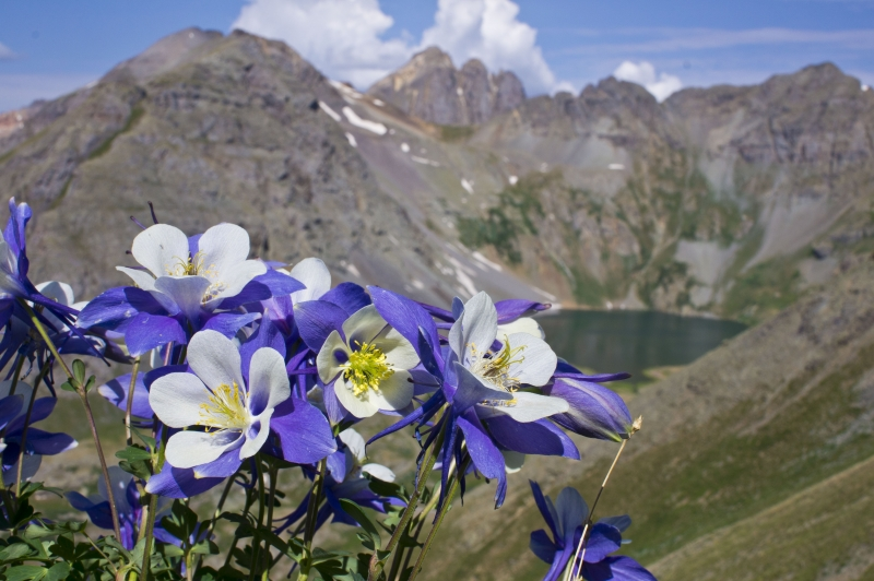 Columbines At Clear Lake