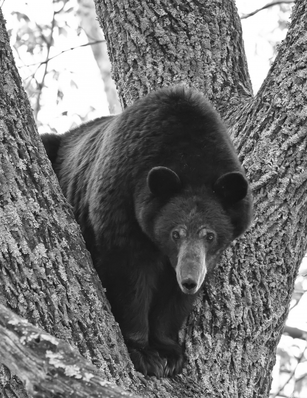 Mother Bear Stare
