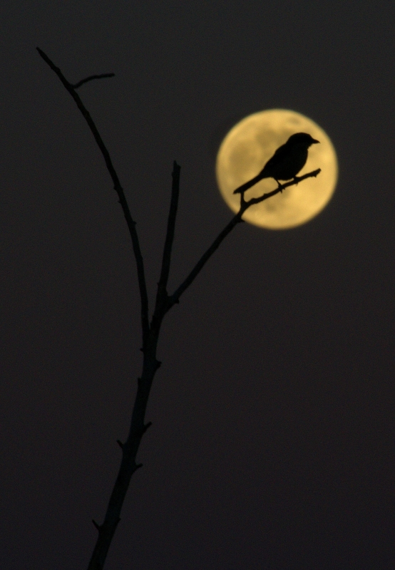 Bird Against The Supermoon