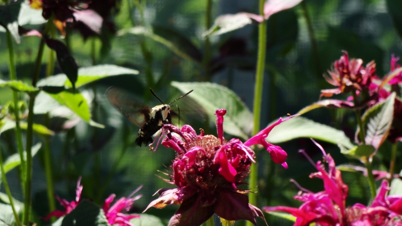 Hummingbird Moth On Beebalm