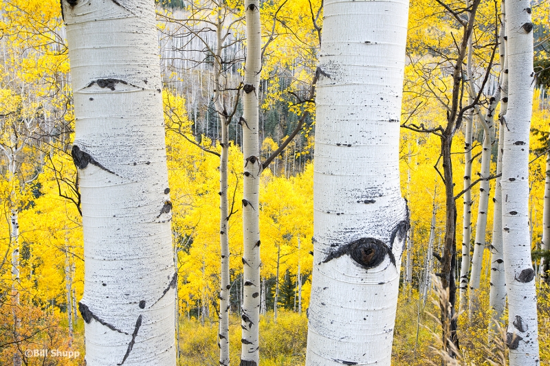 Autumn In Aspen