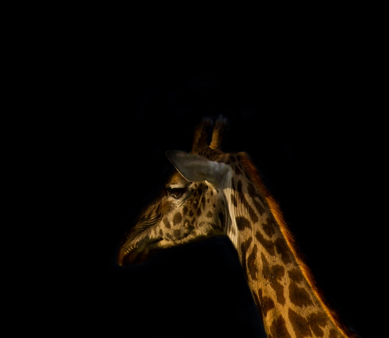 Gentle Portrait Of A Giraffe