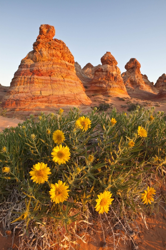 Coyote Buttes Flowers