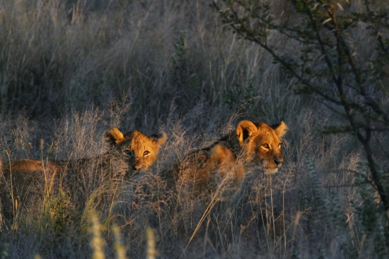 Cubs In Sunlight