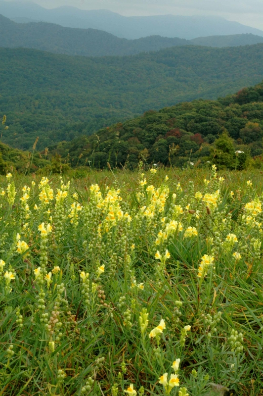 Max Patch Butter & Eggs