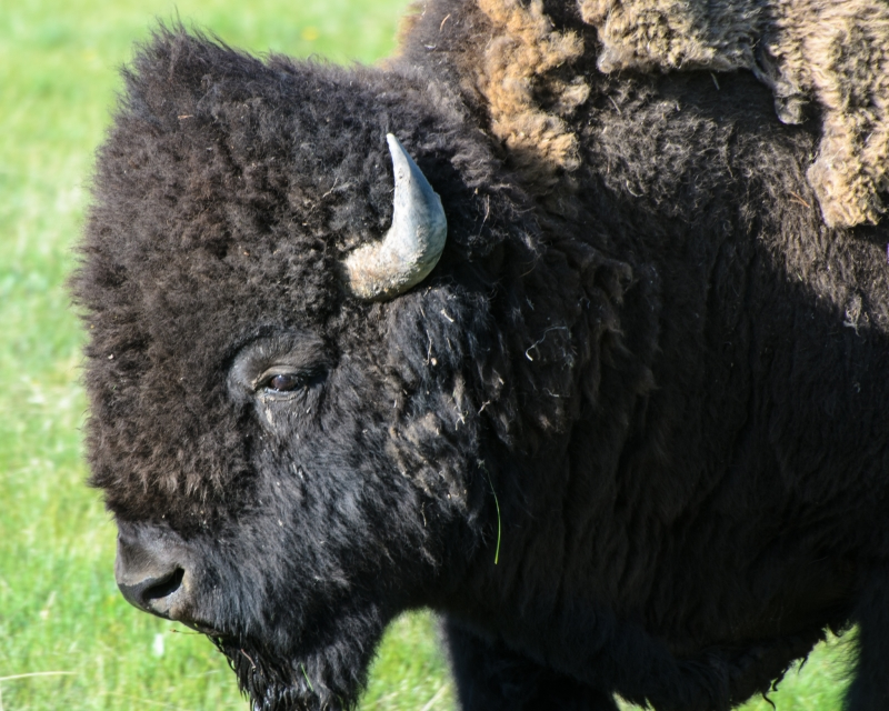 Portrait Of A Bison