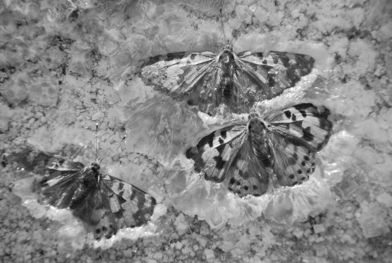 Butterflies Frozen In Great Salt Lake