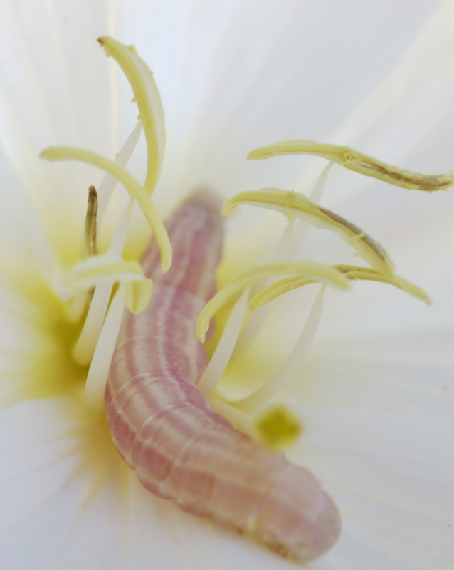 Sphinx Larvae On Dune Evening Primrose