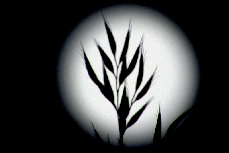 Wild Grass In The Full Moon