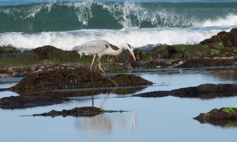 Great Blue Heron Hunting In The Intertidal