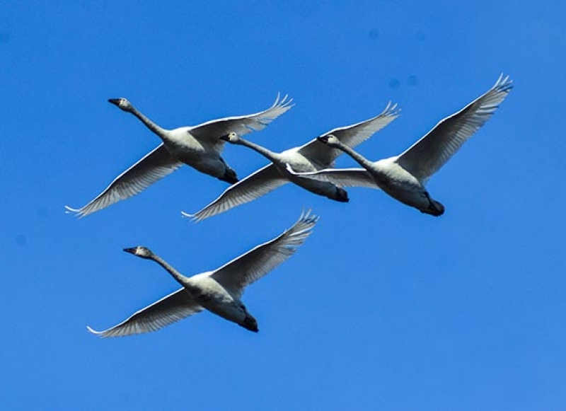 Swans In Formation