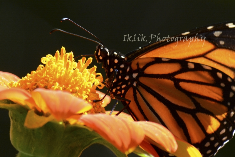 Monarch On Mexican Sun Flower