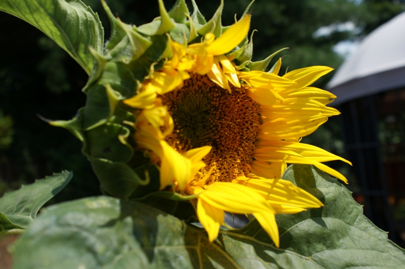 Martha 's Sunflower
