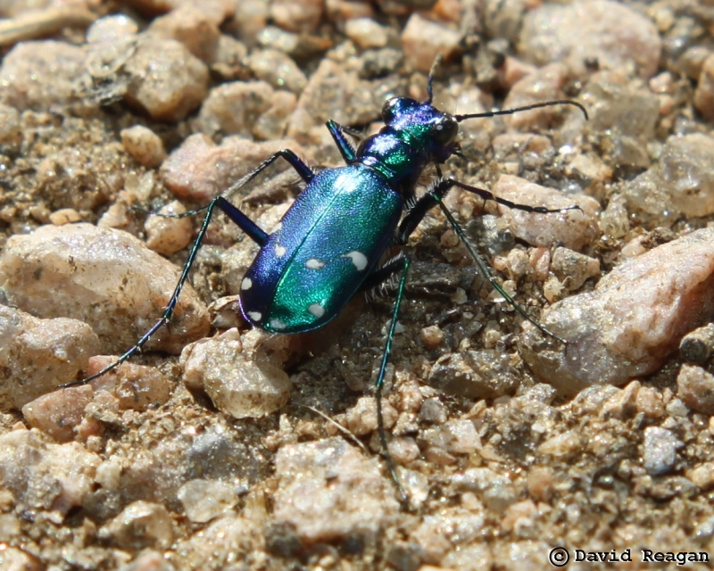 Six-spotted Tiger Beetle