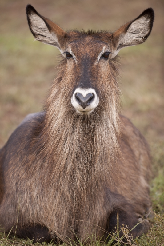 Female Waterbuck Portrait
