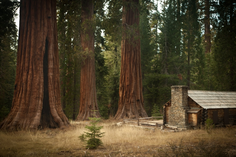 The Mariposa Grove Of Giants
