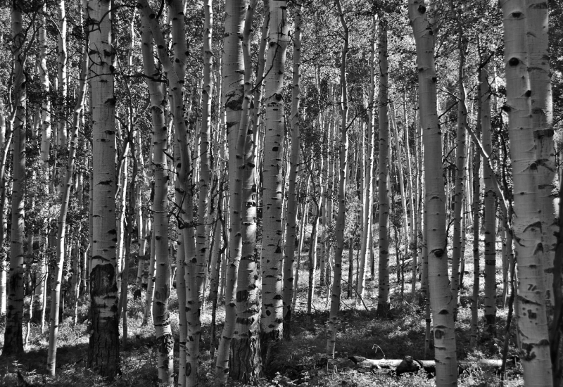 Aspen Outside Of Telluride
