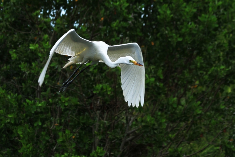 Florida Great Egret In Flight