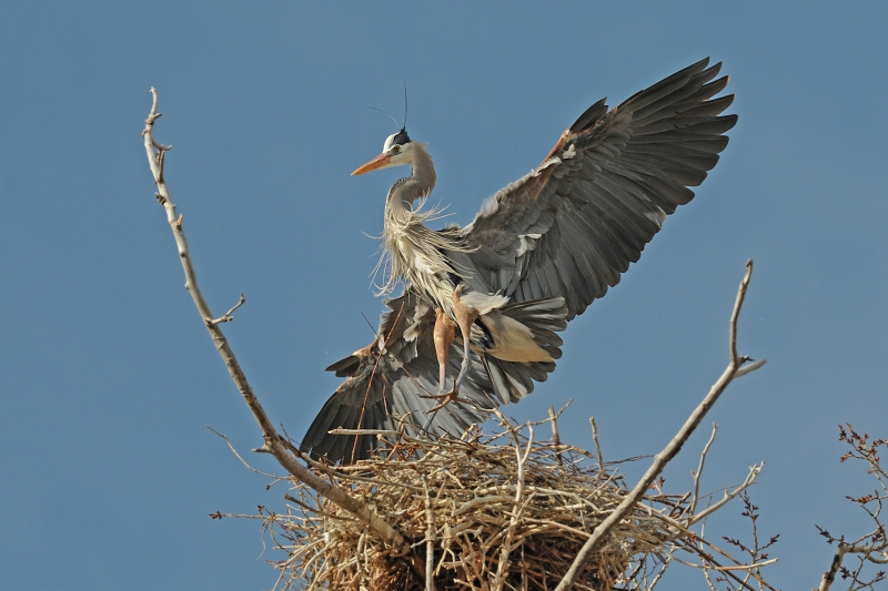 Great Blue Herror Landing On Nest