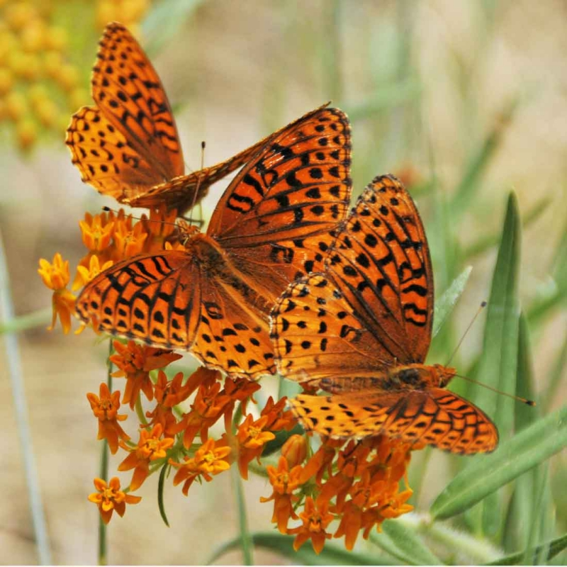 How Butterfly Weed Got Its Name