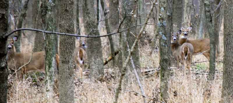 Bottomland Deer
