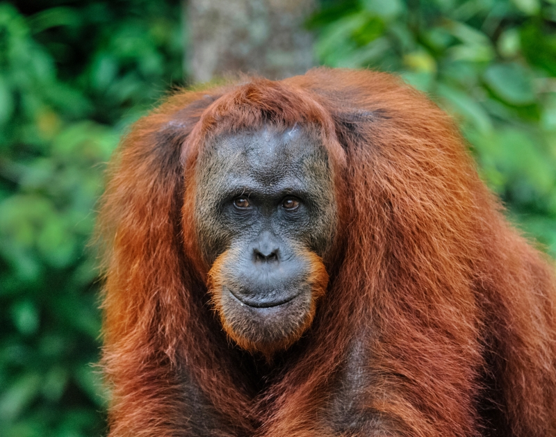 Male Orangutan, Kalimantan, Indonesia
