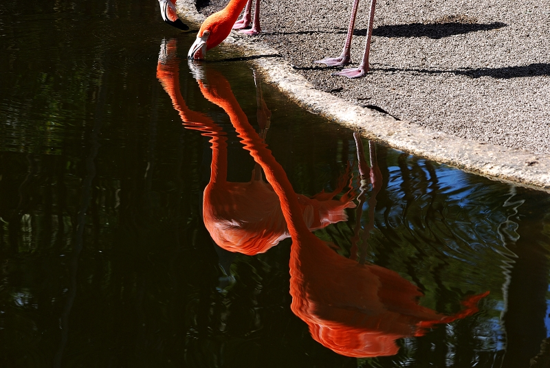 Flamingo Reflections