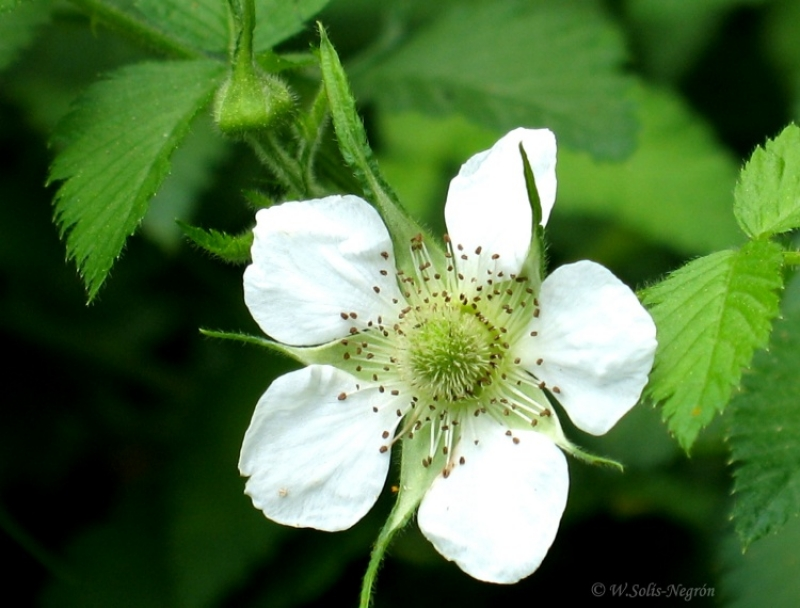 Berry Flower
