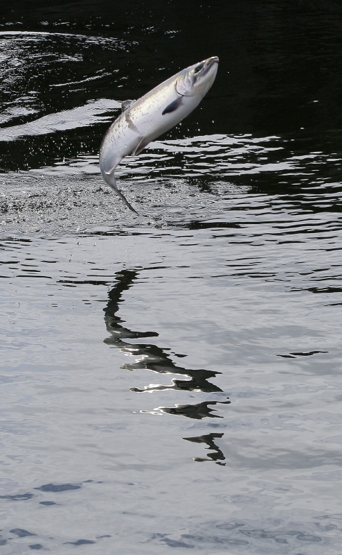 Jumping Salmon At Ballard Locks