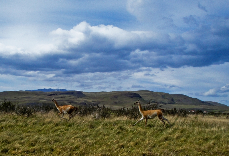 Guanacos In Action