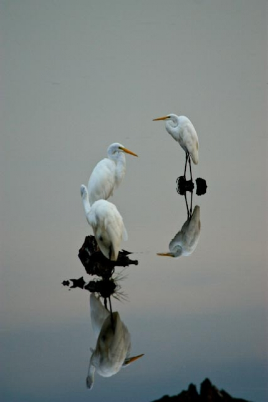 Bombay Hook Egrets At Dusk
