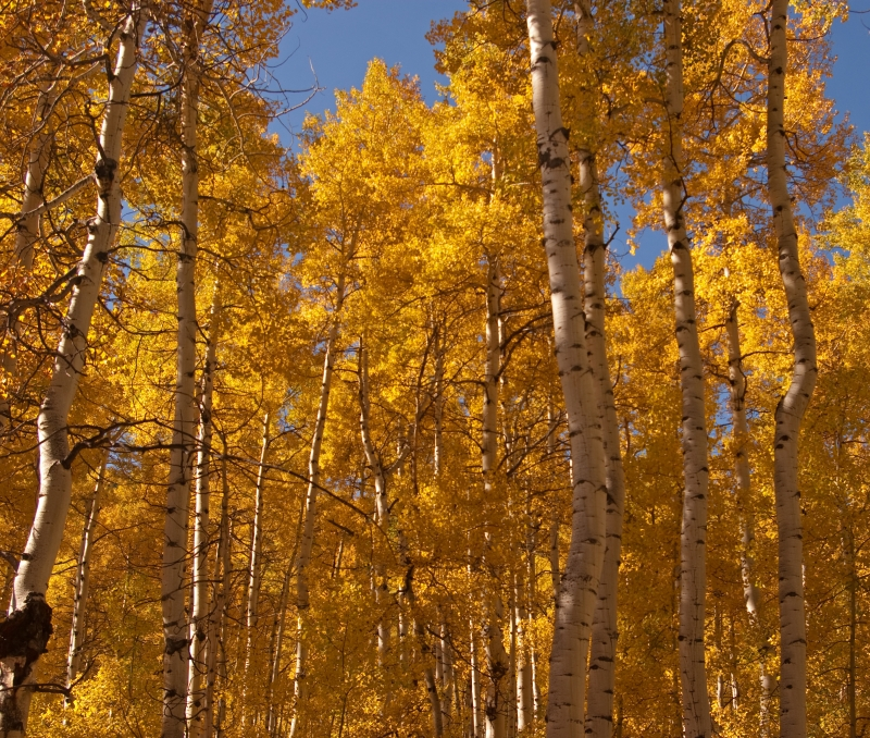 Aspens Changing Near Yeoman Campground In Eagle Colorado