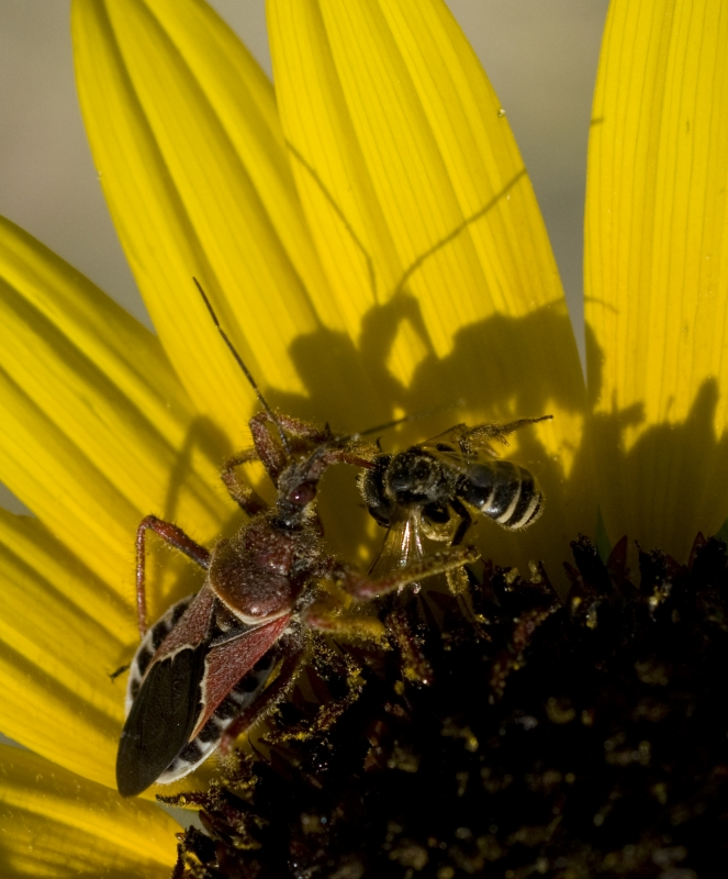 Stage-lit Assassin Bug