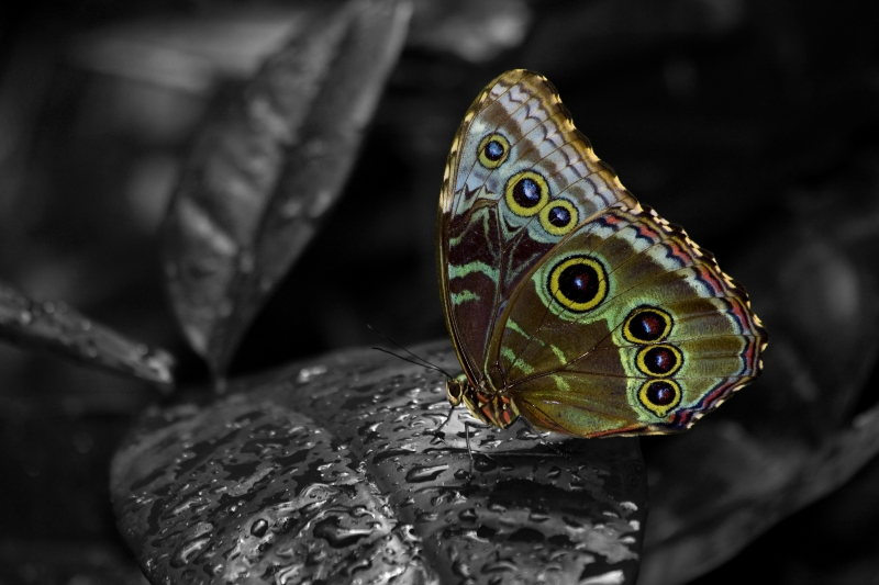 Blue Morpho Peleides Wings Closed