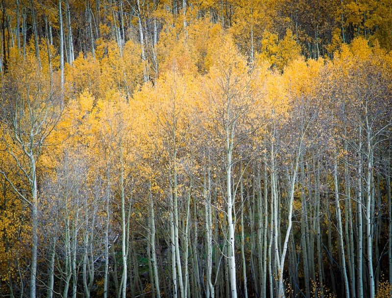 Brilliant Aspens