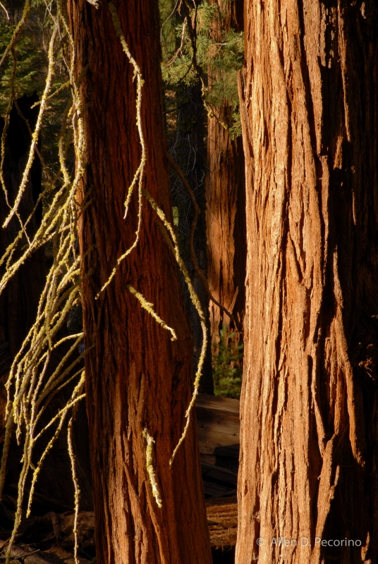Sequoias And Mossy Branches