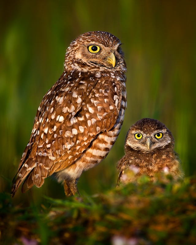 Burrowing Owls On Watch