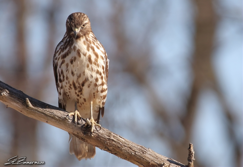 Red Tailed Hawk On Duty