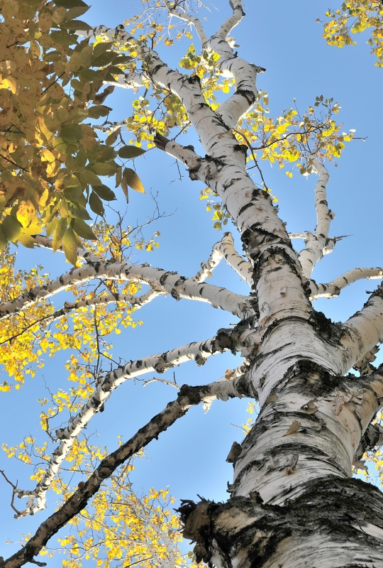 Old White Birch