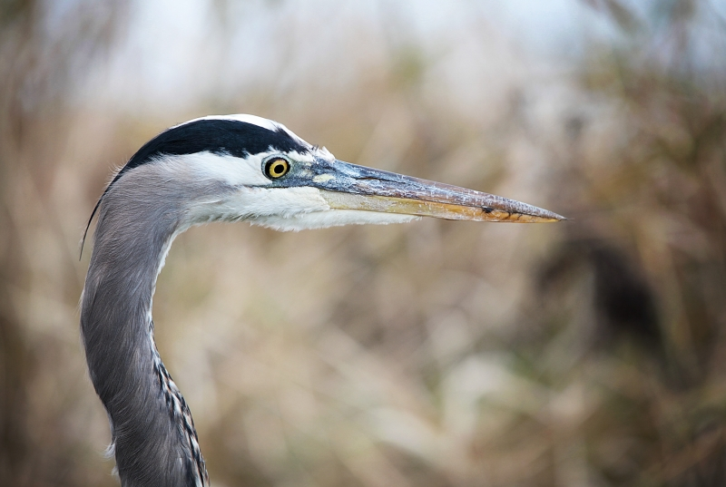 Portrait Of A Blue Heron