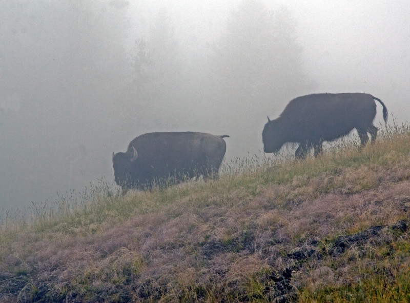 Bison In The Smoke