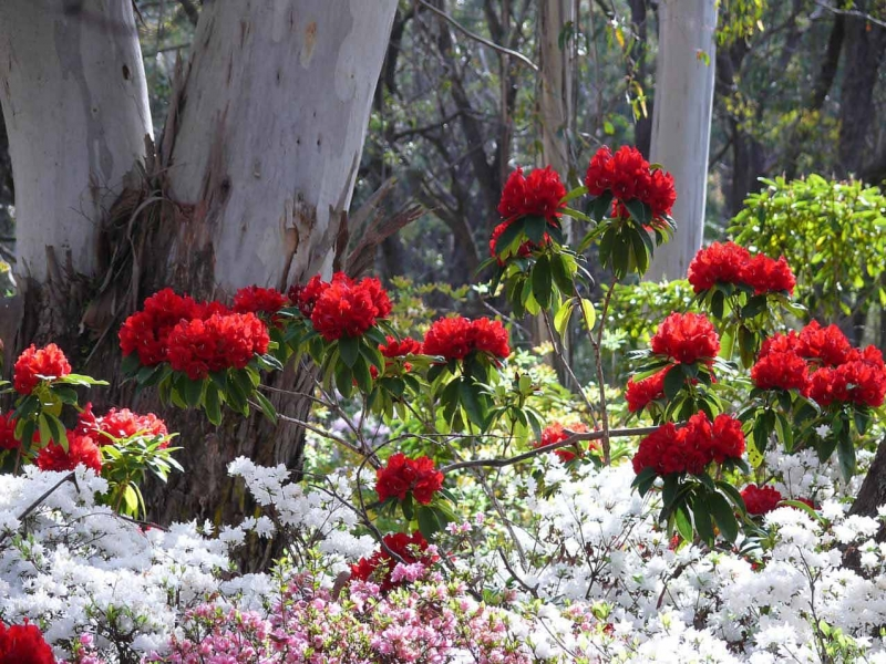 The Campbell Rhododendron Garden At Blackheath, Nsw