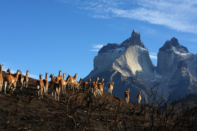 Guanacos Are Free